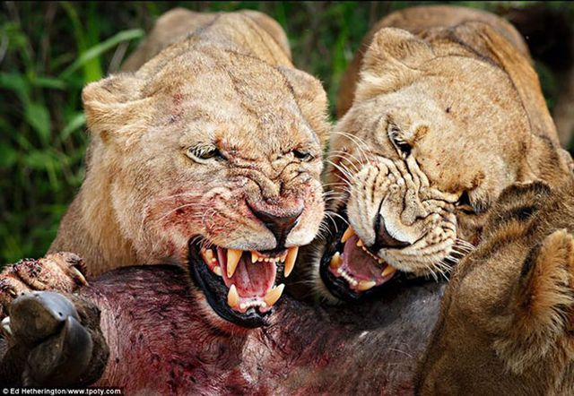 Фотограф Эд Хетерингтон - фото охоты львов в Ботсване.