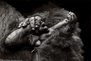 Фотограф из Швейцарии - фото обезьян в горах Вирунга, Руанда