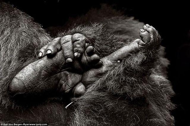 Фотограф из Швейцарии - фото обезьян в горах Вирунга, Руанда.