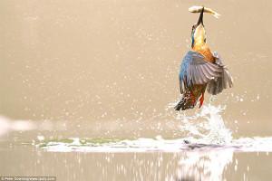Фотограф Питер Даунинг - фото зимородка