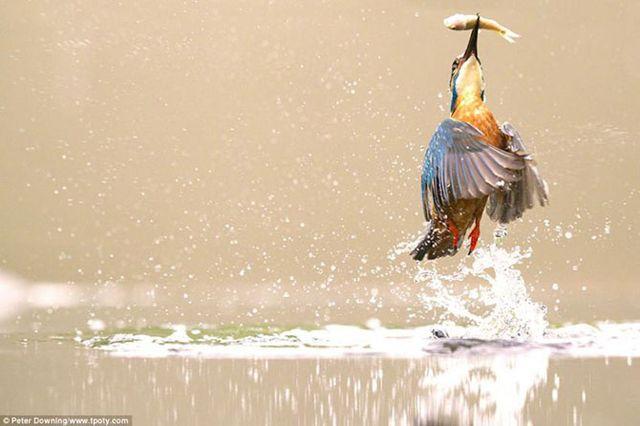 Фотограф Питер Даунинг - фото зимородка.