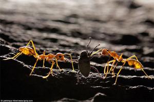 Фотограф Патрия Прасайса - Муравей-портной и долгоносик, Индия