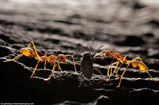Фотограф Патрия Прасайса -  Муравей-портной и долгоносик, Индия.