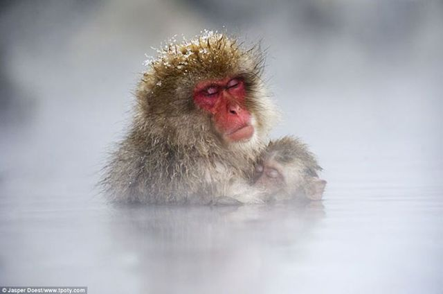 Фотограф Джаспер Доест - фото обезьян в пруду.