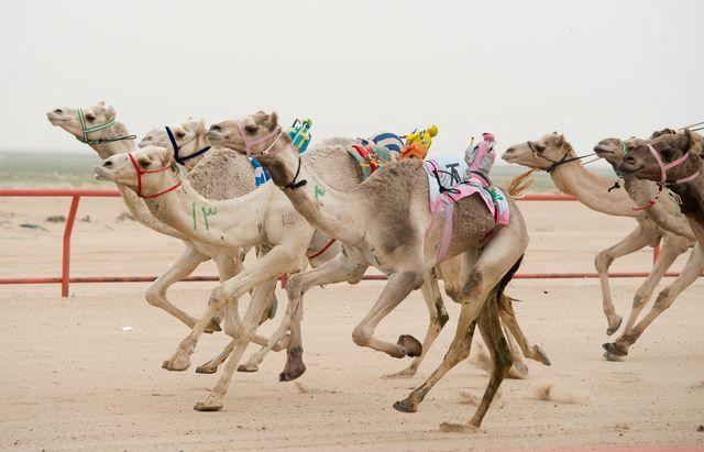 Верблюды, оседланные роботами-жокеями