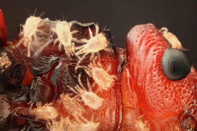 Часть головы и проторакса жука-короеда, покрытая клещами (10x)