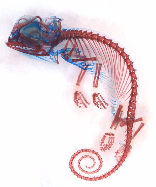Chamaeleo calyptratus (Завуалированный хамелеон), эмбрион. Показаны: хрящ (синий) и кости (красные).