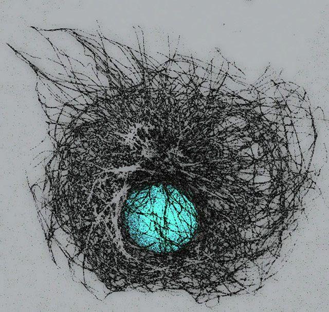 Микротрубочки и ядро почки COS-7 (Cercopithecus aethiops) развивающаяся клетка (100x)