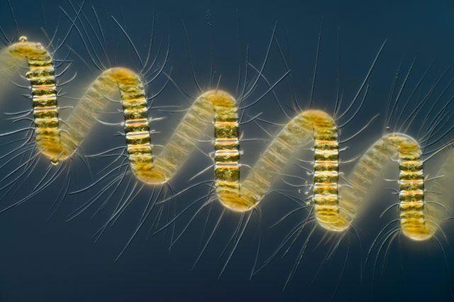 Chaetoceros debilis (Морской диатом), организм колониального планктона (250x)