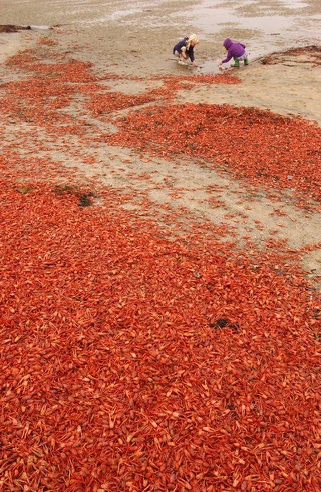 Красные крабы в Сан-Диего