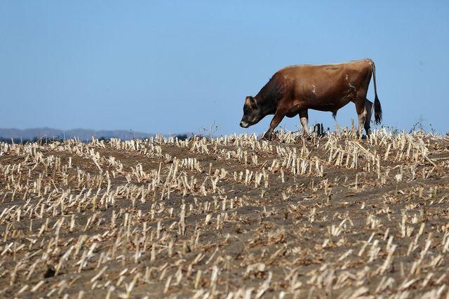 Засуха бьет по производству молока в Новой Зеландии