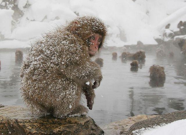 Японские обезьяны после снегопада