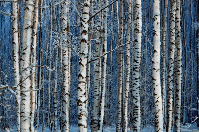 birch_forest_by_dsavin-d4spul5_1
