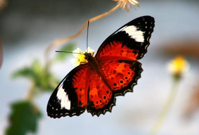 butterflyDARWINWETLANDjun07dwwsct_1