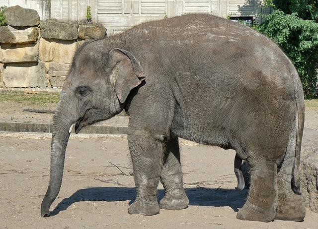 Азиатский слон