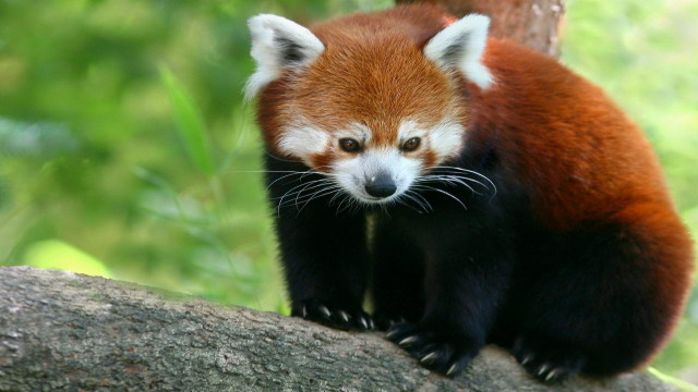 340931_krasnaya_panda_malaya-panda_bambukovyj-medved_1920x1080_(www.GdeFon.ru)_1.GdeFon.ru)