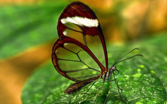 Butterfly-Transparent-Wings-640x400_1