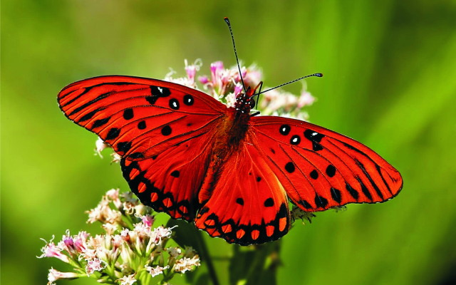 Butterfly-Wallpaper-HD-78_1