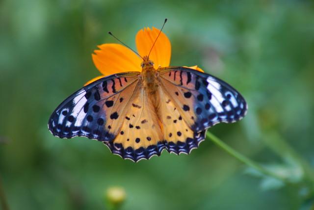 Butterfly_macro_1