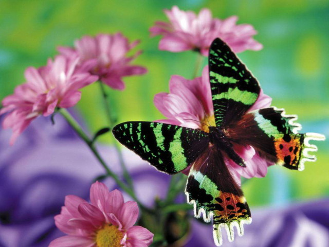 Butterfly_wallpapers_1