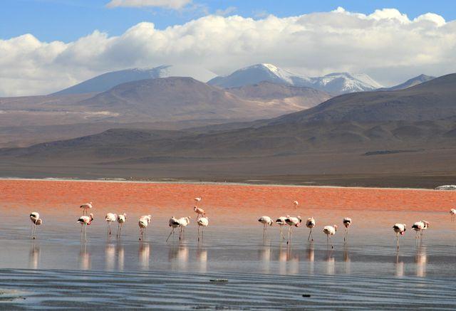 Flamingos_en_la_Laguna_Colorada,_Uyuni,_Bolivia