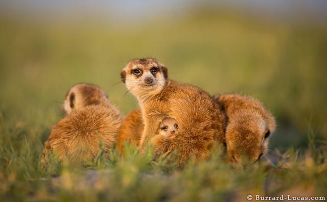 baby-meerkat-adorable_1
