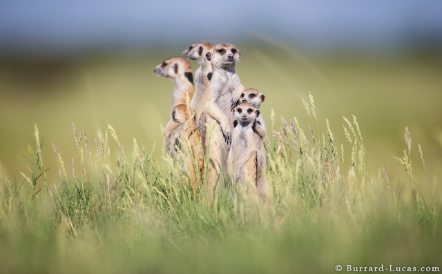 baby-meerkat-huddled-parents_1