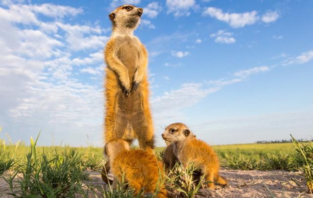 baby-meerkat-perspective_1