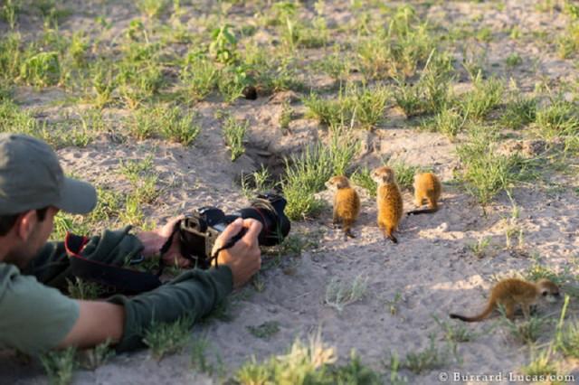 baby-meerkat-photographed_1