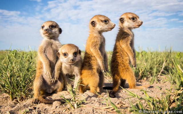 baby-meerkat-sibling_1