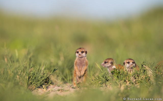 baby-meerkat-three-weeks-old_1