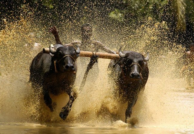 bull-surfing-in-kerala