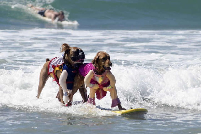 dogs-surfing-4-w724_1