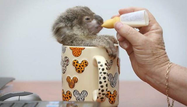 koala1_1