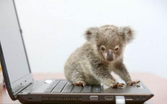 koala2_1