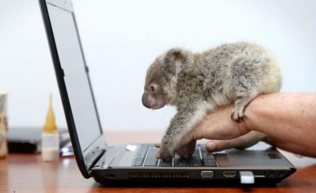 koala3_1