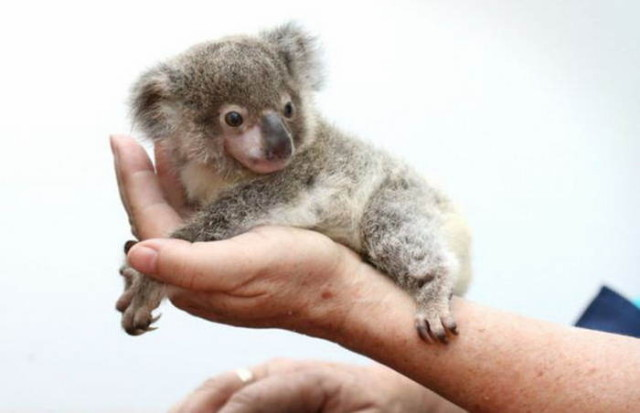 koala4_1
