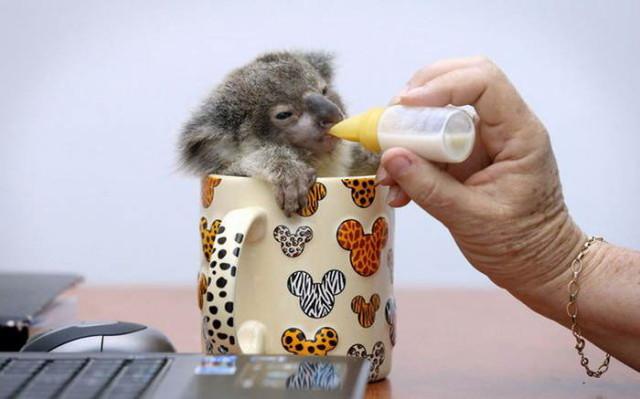 koala5_1