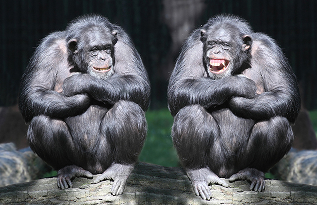 laughing chimps