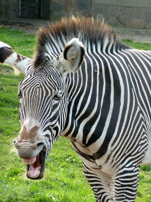 laughing zebra