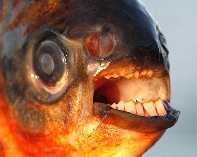 pacu-fish-4