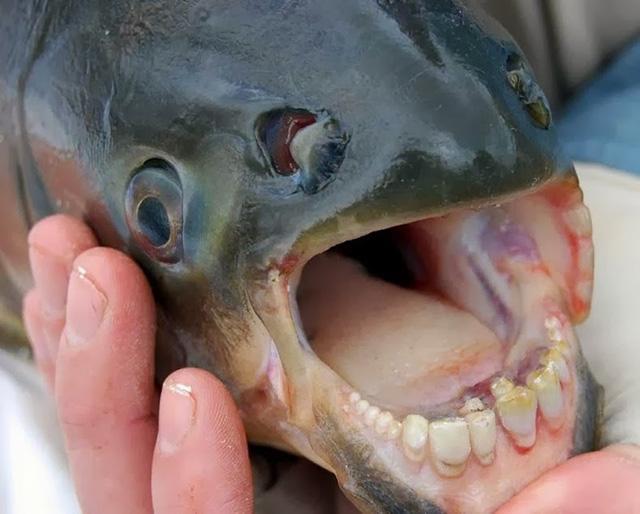 pacu-fish-6[6]