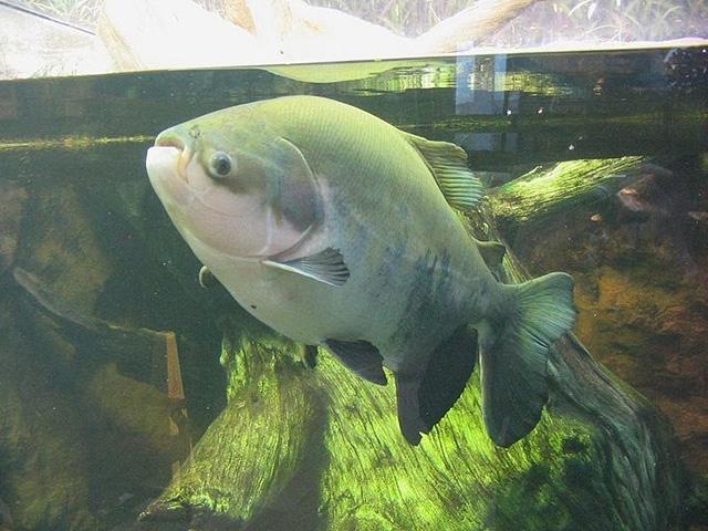 pacu-fish-8[2]