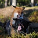 Лис и пес в Норвегии — лучшие друзья