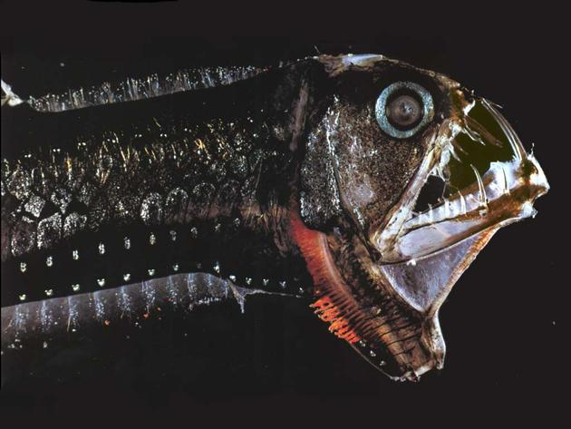 viperfish_deadly_deep_predator1