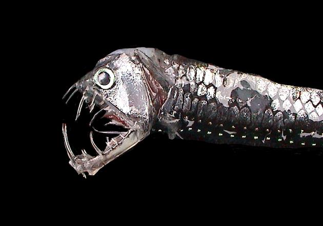 viperfish_deadly_deep_predator2