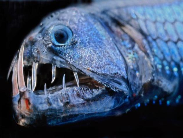 viperfish_deadly_deep_predator7