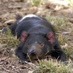 Тасманский дьявол — самый крупный представитель сумчатых хищников