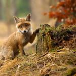 20 фотографий, которые заставят вас полюбить лис