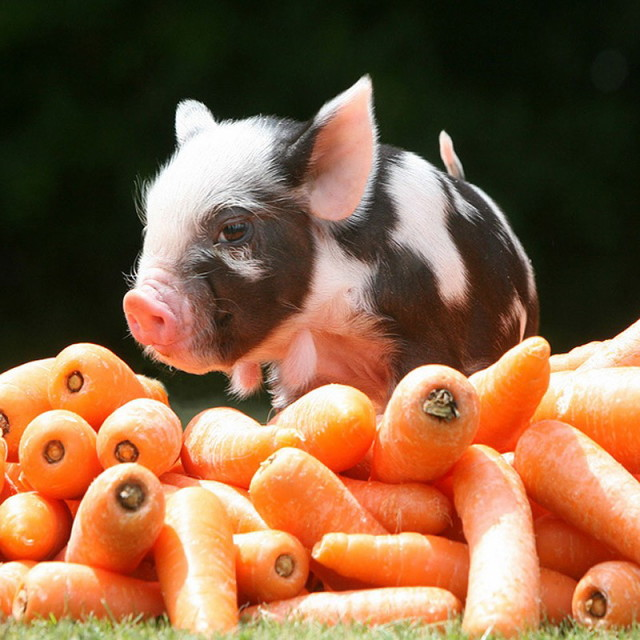 MiniaturePigs02_1